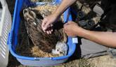 Ochranári zachraňujú orlíča