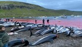 Zabili viac ako 1400 delfínov!