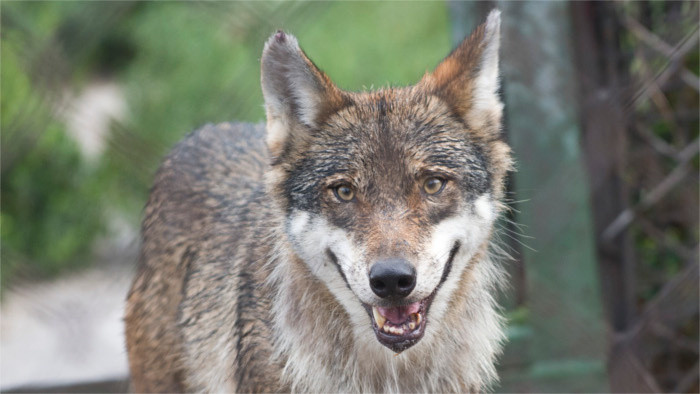 Budaj: Wolf to become protected species