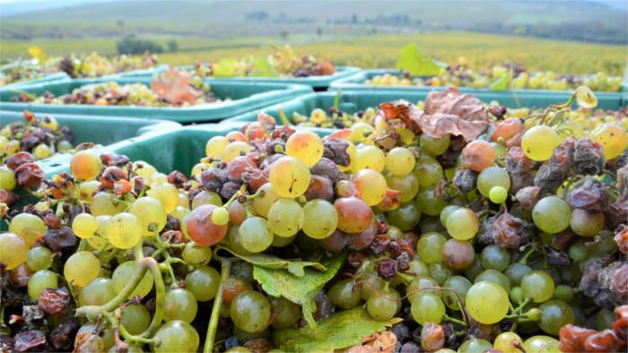 Кризис в виноградарском секторе