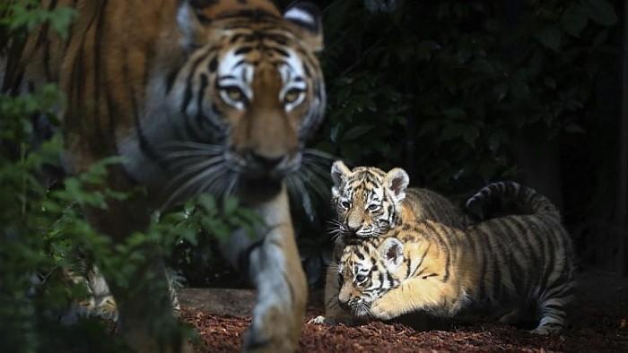 Tiger bites woman at minizoo in Žilina Region