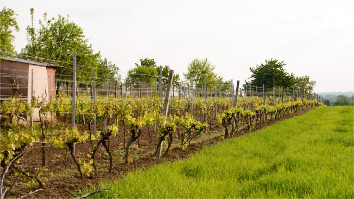 La fin des vignes slovaques ?