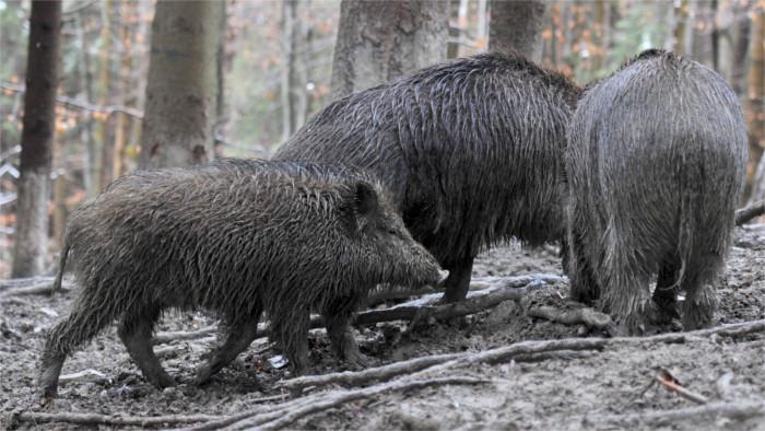 Landwirtschaftsminister zur Schweinepest: Lage ist ernst