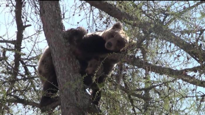 Medveď obdivovaný aj zatracovaný