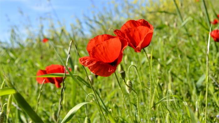 Power of wildflowers: Urban meadows improving city environment