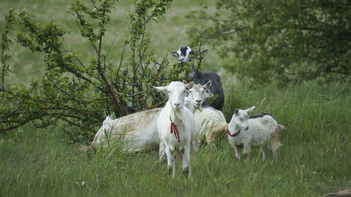 Vzácnu lokalitu chránia aj kozy