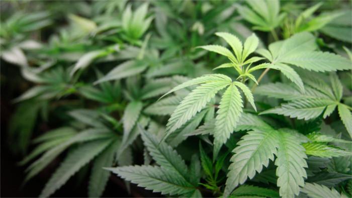 Abierto debate acerca de las condenas elevadas por consumo de marihuana