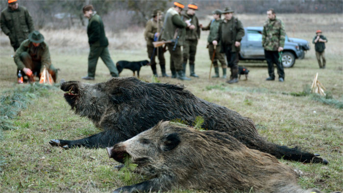 Agriculture Ministry to reduce number of wild boars