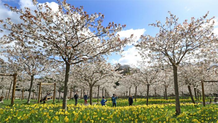 Nitra to be adorned with Sakura trees
