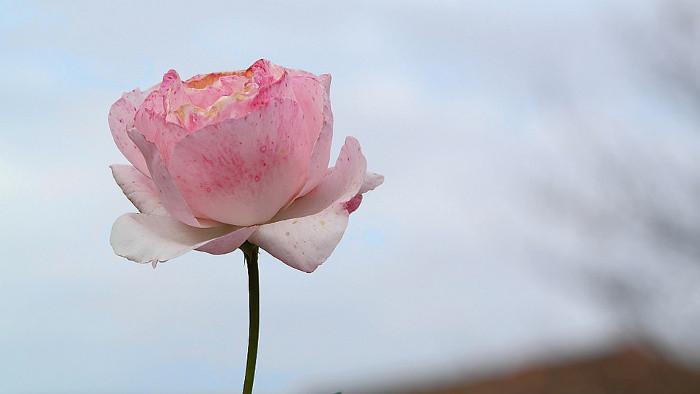 Der Duft von Tausenden Rosen schwebt in Dolná Krupá weit und breit über zwei Rosarien