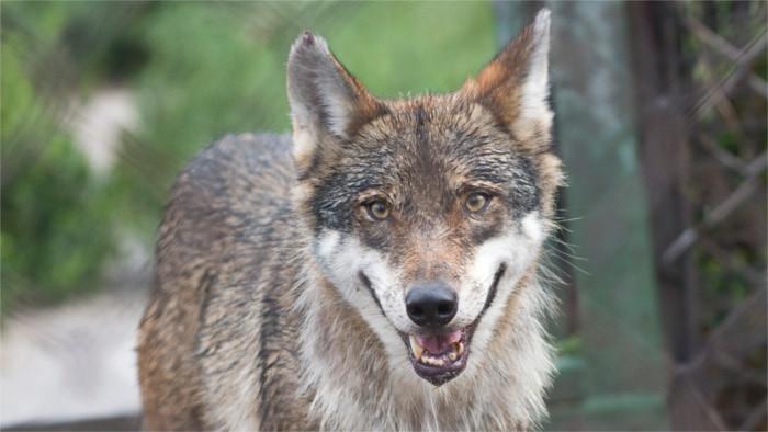 Волк стал в Словакии охраняемым животным