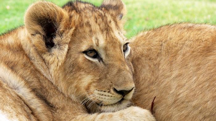 Aj kráľ zvierat bojuje o život. Sledujte Dynastie