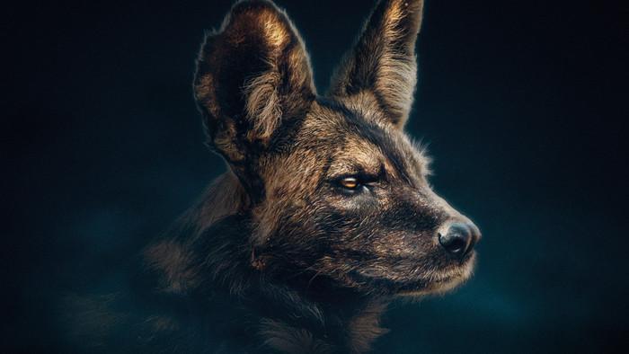 Dynastie odhalia morálne dilemy psov hyenovitých