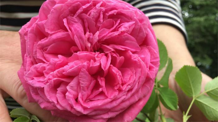 TRACING RUDOLF GESCHWIND – part 2 – Roses