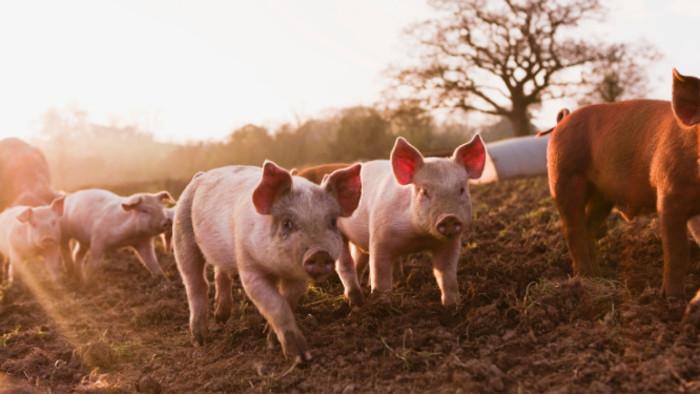 Jön a sertéstenyésztőknek járó amnesztia