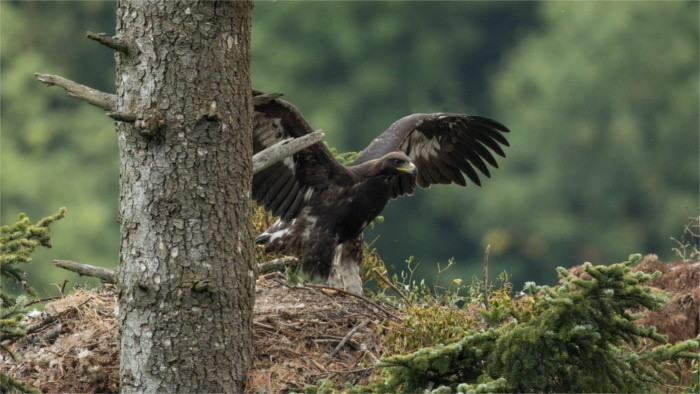 Dos crías de Águila real engañaron la naturaleza