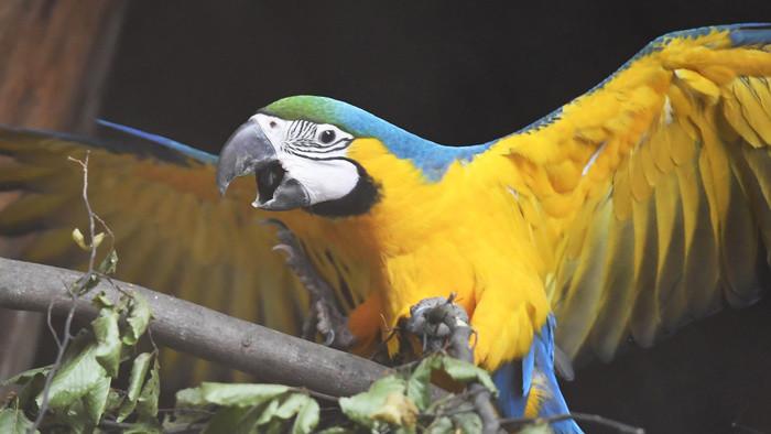 В Кошицком зоопарке вылупились птенцы сине-жёлтых ара