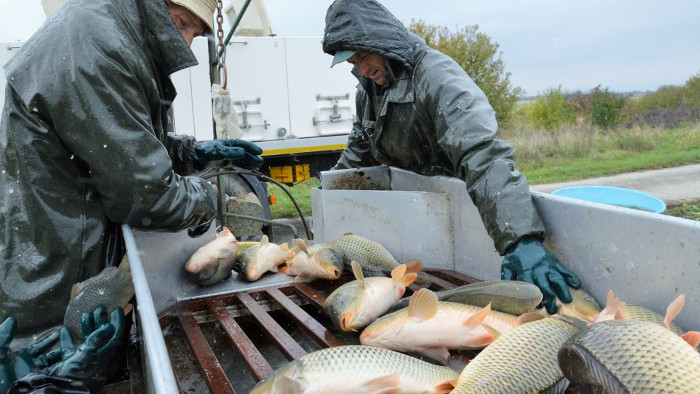 La pesca de las carpas para la Navidad 2020