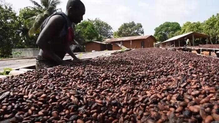 V tieni kakaovníka