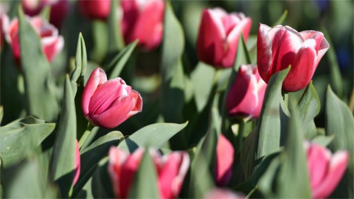 Odkiaľ prišiel na naše územie obľúbený tulipán?