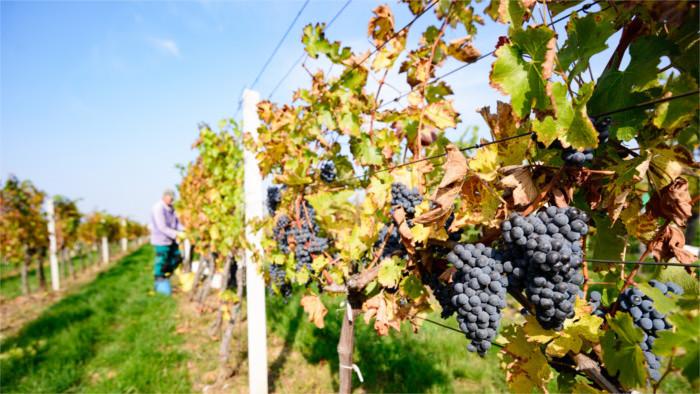 Словацкие виноделы: в этом году будет хороший урожай!