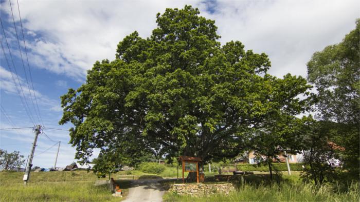 Slowakischer Baum des Jahres gekürt