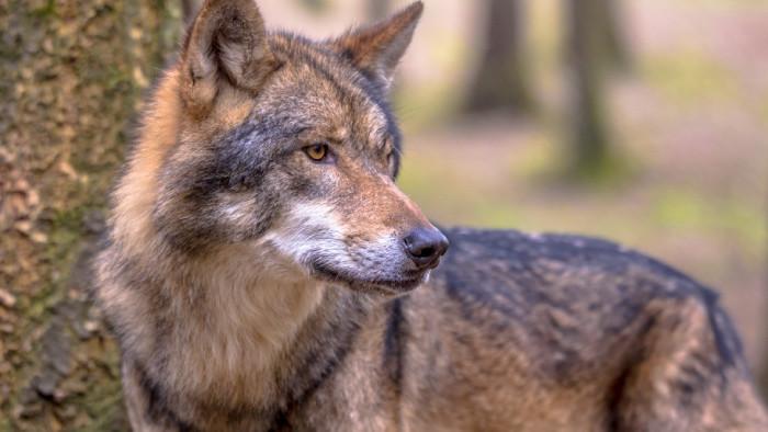 Spor o odstrel Vlka dravého