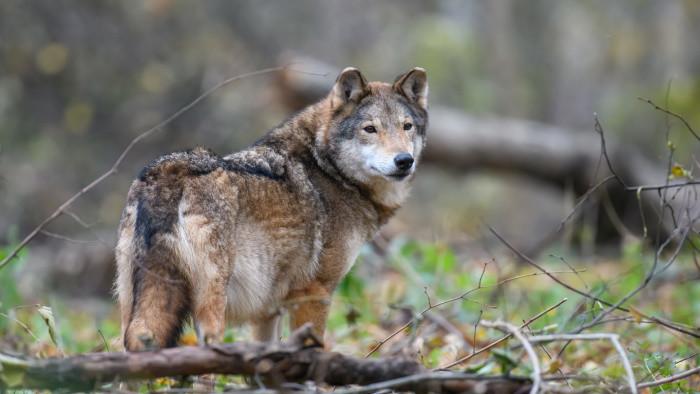 Vlk verzus ovce, poľovníci a ovčiari verzus ochranári