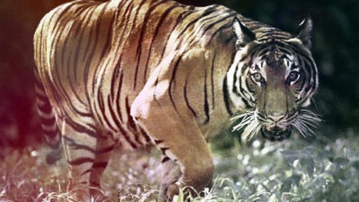 Tiger Kingdom: Illegal trade, breeding and legal mayhem
