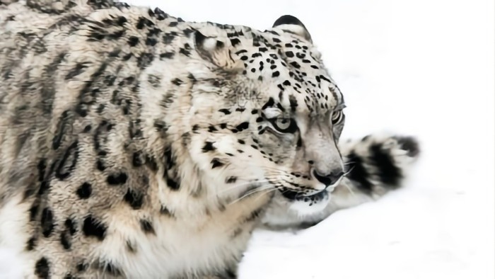Sylvain Tesson: Snežná leopardica