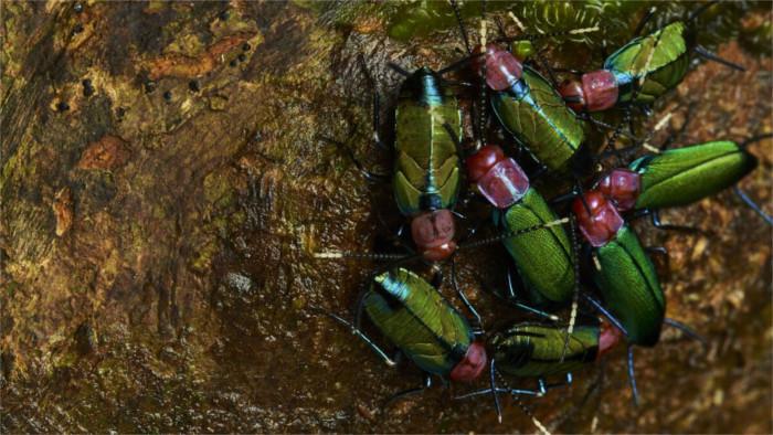 Superorganismen von Schaben in Südamerika entdeckt
