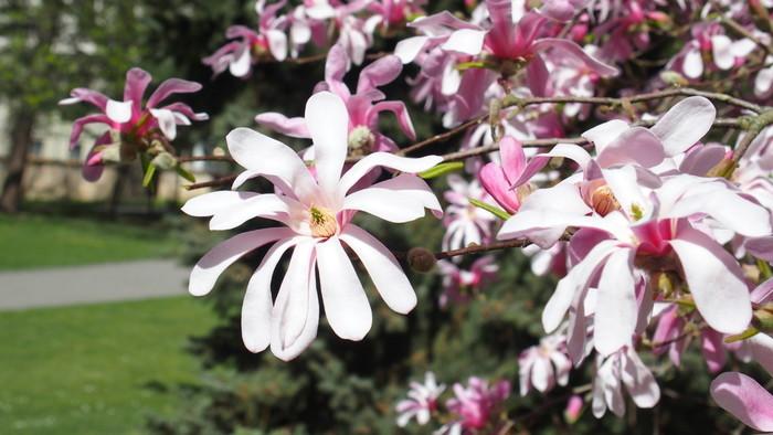 Zo zeme (s Barbarou) / Zásady pestovania magnólií