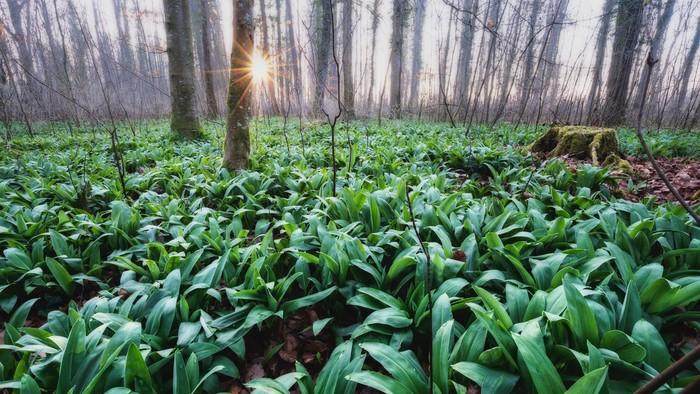 Zelený zázrak, ktorý nájdete na prechádzke lesom