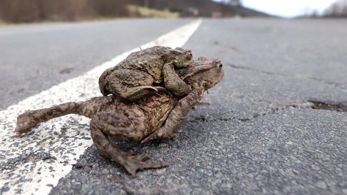 Весенней миграции лягушек и жаб в Словакии помогают добровольцы
