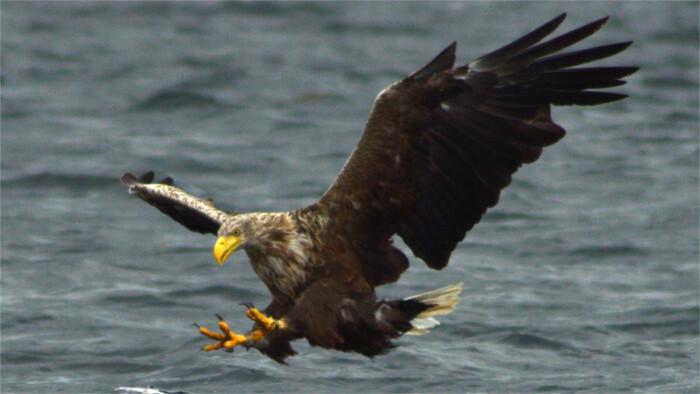Орлан-белохвост впервые гнездится на Липтове