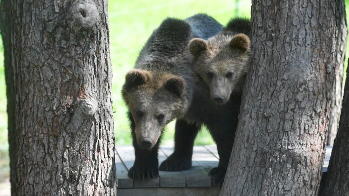 Vedecký výskum o stave medveďov