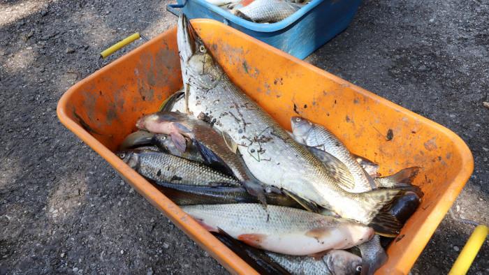 Экологическая катастрофа: в реке Грон погибло много рыбы