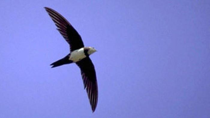 В Словакии гнездится новый вид птиц –  стриж белобрюхий