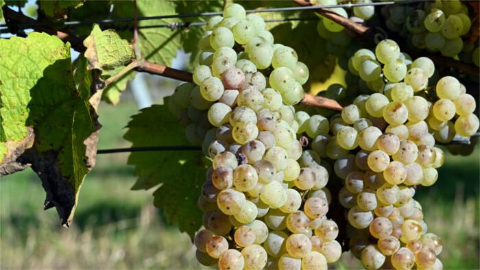 Los viticultores disfrutan de una temporada exitosa
