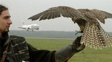 Las aves de rapiňa en el aeropuerto de M. R. Štefánik
