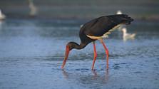53 перепись водоплавающих птиц в Словакии прошла успешно