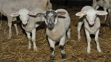Ako znejú ovčie zvonce