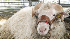 Breeding the ideal Slovak sheep