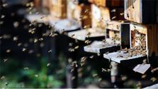 Beekeeping the old-fashioned way