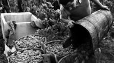 Z vinohradníckych tradícií: Vajnory, Horné Orešany, Ilok