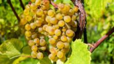 Klub farmárov: Ako sa vyrába slamové víno