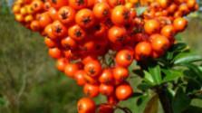 Klub farmárov: Aké sú výhody pestovania rakytníka
