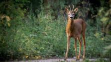 Lesná zver a škody na poliach