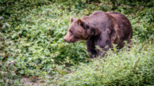 Chránený medveď je terčom pytliakov