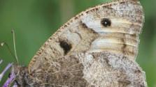 Záchrana motýľa Okáča skalného